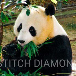 Panda Collection 4